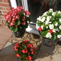 patio Begonias