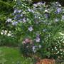 Hibiscus Bluebird (Hibiscus Rose of Sharon)