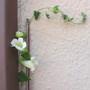 Maurandya Bridal Bouquet (Lorospermum erubescens alba)