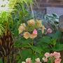Fading hues of a hydrangea  (Hydrangea macrophylla (Hortensia))