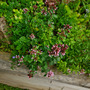 Thyme lingers on the rockery. (Thymus pulegioides (Lemon-scented thyme))