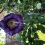 Annual purple bell climber