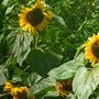Sunflowers showing off in next door's garden. (Helianthus annuus (Sunflower))