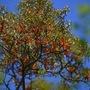 Orange berries of the Sea Buckthorn