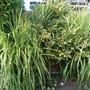Variegated shrubs