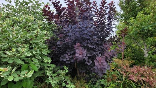 Continus Royal Purple (Cotinus coggygria (Smoke bush) 'Royal Purple')