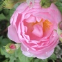 DA rose Scepter'd Isle.