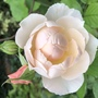 DA rose The Shepherdess