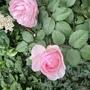 DA rose Olivia rose Austin