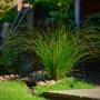 Carex testacea 'prairie fire' (Carex testacea)