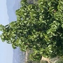 Thespesia grandiflora - Maga Tree