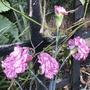 Carnation Dark Tempo (Carnation)