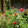 Few roses blooming