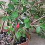 Mini Fuchsia Alan Jackson.(For my File) (Encliandra)