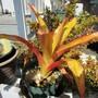 Bromeliad of color. (Aechmea blanchetiana)