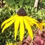Perennial Rudbeckia