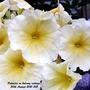 Petunias (Yellow + white) on balcony railings 30th August 2021 005