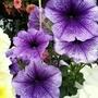 Petunias (Purple + black veining) on balcony railings 30th August 2021 00