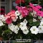 Petunias on balcony railings 1st September 2021 002