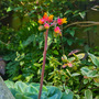 Sempervivum tectorum (Common Houseleek)ervivum