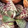 Kalanchoe humilis (new plant)