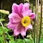 Anemone hupehensis (double flower)