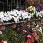 Petunias on balcony railings 10th September 2021 001