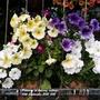 Petunias on balcony railings 10th September 2021 002