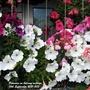 Petunias on balcony railings 10th September 2021 003