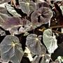 Begonia Rex 'Black Mamba'