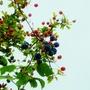 Plenty of food for the birds in the hedgerows.