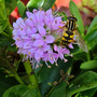 Hoverfly on hebe.