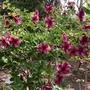 Allamanda 'Cherries Jubilee'