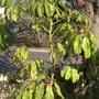 Schefflera actinophylla - Umbrella Tree