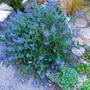 Caryopteris 'Heavenly Blue'
