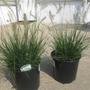 For Kate:  Hameln Fountain Grass
