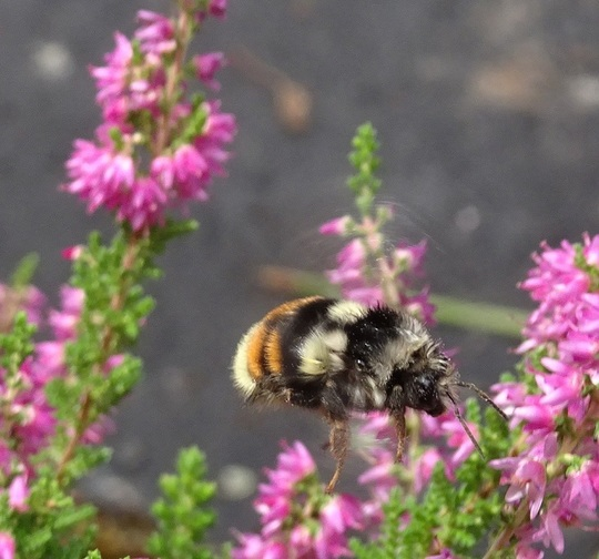 A bee on heather
