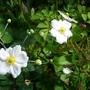 'Honorine Jobert' Japanese anemone