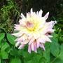 Pinkish Dahlia