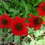 Enchinacea salsa red