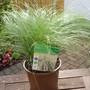 Carex 'Frosted Curls' (Carex comans (Sedge))