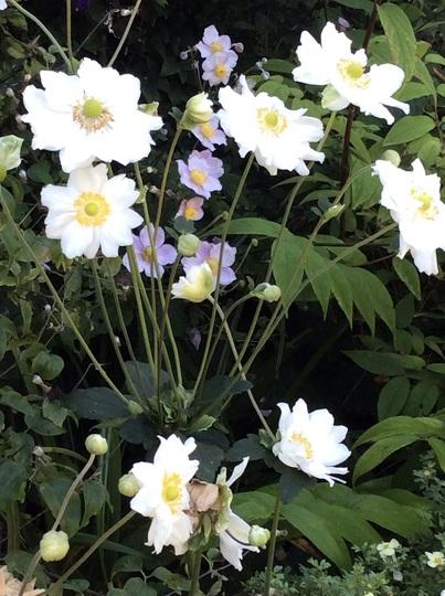 Anemone hupehensis 'Whirlwind'.