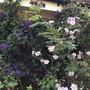 Pink Japanese Anemone and clematis 'Etoile Violette'