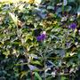 Buddleja reblooming (Buddleja davidii (Butterfly bush))