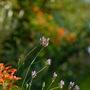 Lavender lingering on. (Lavandula angustifolia (Lavender))