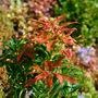 Pieris Japonica  'mountain fire'. (Pieris japonica (Lily of the valley bush))