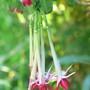 Fuchsia boliviana Alba