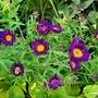 Syphyotrichum (Aster) novae angliae Violetta and friend