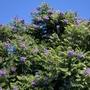 Jacaranda Tree Flowering