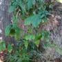Coffee arabica, first flowering. (Coffee arabica)